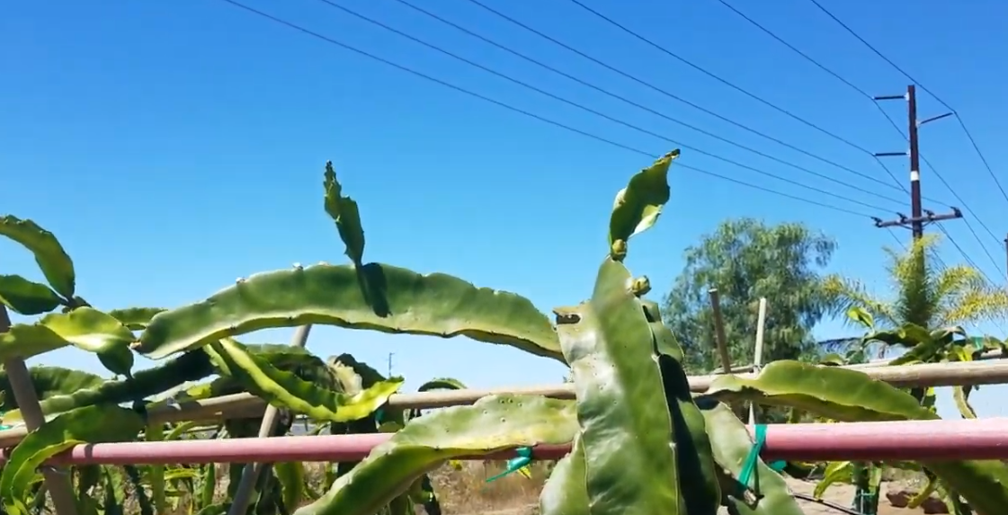 Dragon fruit flower thinning