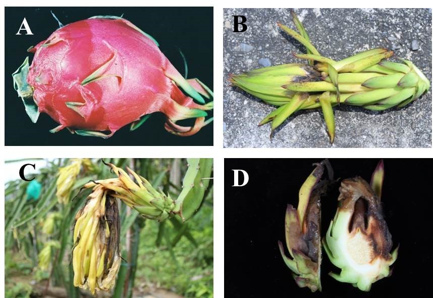 Dragon Fruit Network